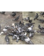 Birds pests are well known to carry a range of diseases