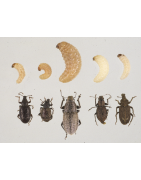 Various pest beetles carpet, soil, hive and many more!