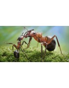 Ants are social insects which live in nests.